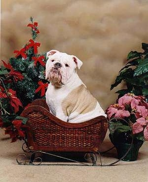 Big Mack the Bulldog sitting in a brown wicker sleigh in front of a potted poinsettia plant and a small Christmas tree