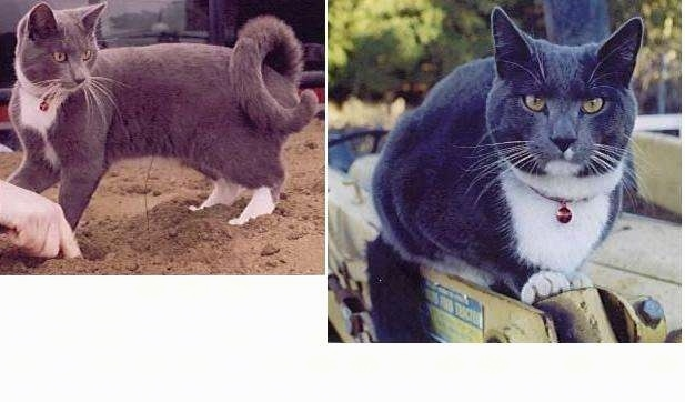 Left Photo - Soloman the Ring-Tailed Cat is standing in dirt and looking to the right and there is a hand poking a hole in the dirt; Right Photo - Close Up - Soloman the Ring-Tailed Cat is standing on a machine and looking towards a camera holder