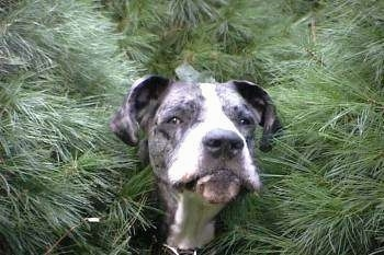 A large black with white dog is standing with its head poking out from behind three evergreen trees
