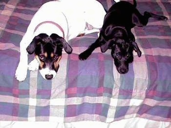 A white with black and tan Lab mix is laying next to a smaller black dog at the edge of a human's bed that has a plaid comforter on it