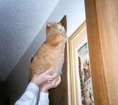 Caraticus a One-eyed Cat is being held in the air against a doorway by a person
