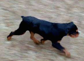 Carlin Pinscher puppy is moving across a blurred background