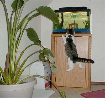 Sally the cat is jumping up at a tall fish aquarium to see the fish