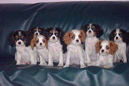 A Litter of Cavalier King Charles Spaniel Puppies sitting all lined up on a leather couch