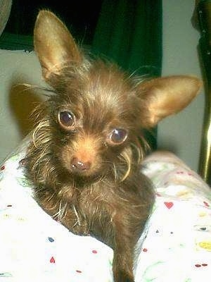 Chihuahua Dog Breed Pictures 4