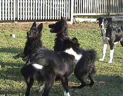 Two Croatian Sheepdogs are outside playing with Two Border Collies in a yard with a white fence behind them.