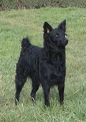 A black Croatian Sheepdog is standing outside in grass and looking to the right