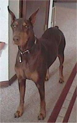 A brown and tan Doberman Pinscher is standing on a carpet in front of a closet door
