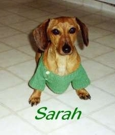 Sarah the tan Dachshund is wearing a green sweater and standing on a tiled white floor