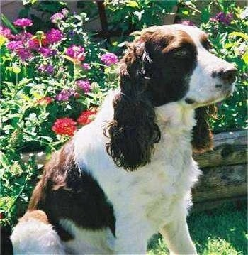 Emily the brown and white English Springer Spaniel is sitting in front of a flower bed.