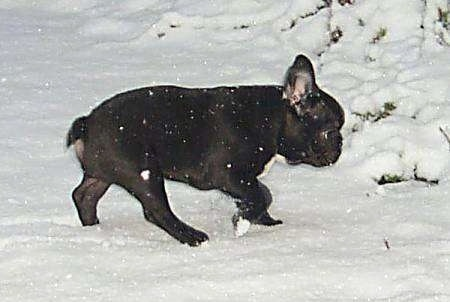 A black with white French Bulldog is walking through snow while it is actively snowing.
