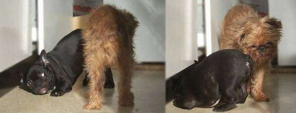 left Photo - A black French Bulldog is play bowing in front of a Brussels Griffon. The French Bulldogs face is shown. Right Shot - A black French Bulldog is play bowing in front of a Brussels Griffon. The Brussels Griffons face is shown