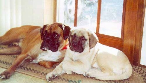 A brown with white boxer is laying on top of a tan oval throw rug next to a tan Mastiff puppy in front of a wooden door wiht a lot of glass panes with the sun shining in.