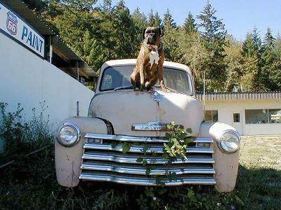 A brown with black and white Boxer is sitting on the top of an old tan 1949 Chevrolet Pick-up truck with a white building to the left and behind it.