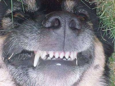 Close Up head shot  - The snout and teeth of a dog that is up-side down in the grass
