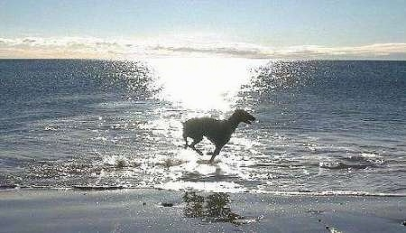 The silhouette of a Doberman running across a beach with the sun setting over the water