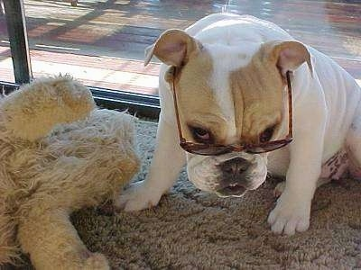 A white with tan Bulldog is sitting on a tan carpet wearing sunglasses with its head tilted down looking with its eyes above the view of the glasses. There is a sliding door behind it and a tan plush toy next to it.