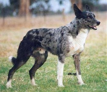 Australian Koolie Dog Breed Information And Pictures