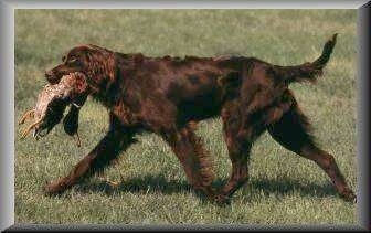 German Long-Haired Pointers