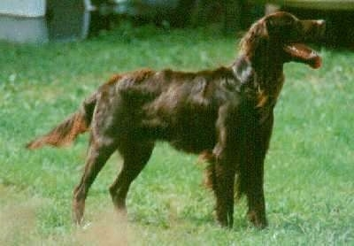 German Long-Haired Pointer Puppy Dogs