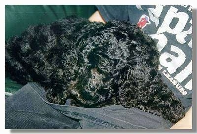 Close Up - A black Goldendoodle is sleeping in the lap of a person on a couch