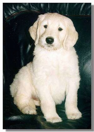 A short haired cream colored Goldendoodle puppy is sitting on a blakc leather couch