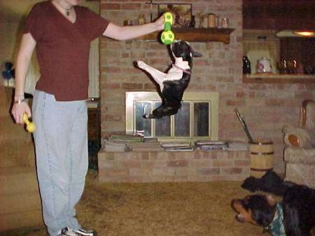 Lexy the Boston Terrier is jumpin gup to grab the a toy out of the hands of his owner