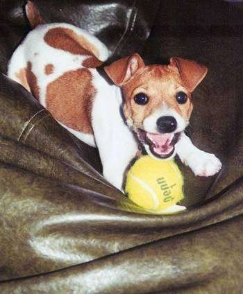A brown with white Rat Terrier dog is laying in a green leather chair with a tennis ball in front of it