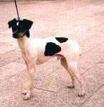 A white with black Japanese Terrier is standing on a street
