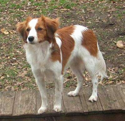 A white with red Kooikerhondje is standing outside on a wooden walkway