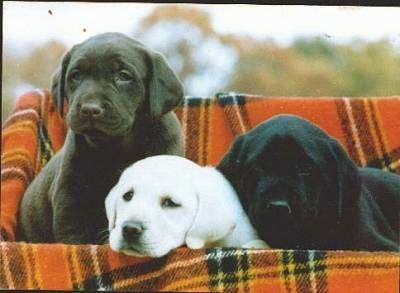 Three Labrador puppies in a rectangular basket lined with an orange and black plaid blanket - A chocolate Labrador Retriever puppy, A yellow Labrador Retriever puppy and a black Labrador Retriever puppy