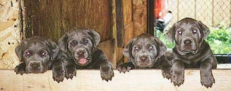 A litter of silver Labrador Retriever puppies lined up in a row jumped up on the wall of their wooden whelping box.