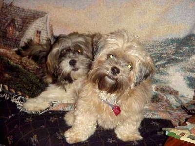 Two Lhasa Apsos are laying on a couch really close to each other in front of a blanket that has a picture of the rough sea and a house on it.