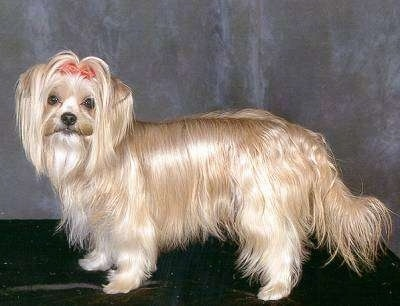Left Profile - A blonde with white longhaired Yorkshire Terrier is standing on a black rug