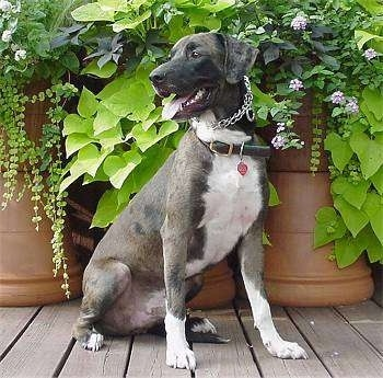 Louisiana Catahoula Leopard Dog Breed Information and Pictures