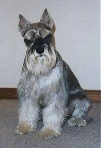 Sir Reginald Von Waterville the Miniature Schnauzer sitting on a carpet with its head tilted to the left