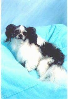 A white with black Mi-ki dog is sitting on a blue blanket in front of a blue backdrop.