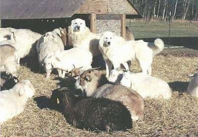 Two white Maremma Sheepdogs are standing in hay surrounded by a herd of goats. There is a wooden feeder building behind them.