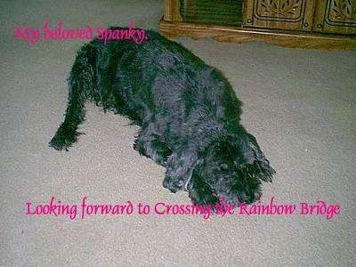 Spanky the dog laying on a carpet with the words - My beloved spanky Looking forward to Crossing the Rainbow Bridge - Overlayed