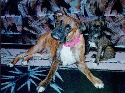 Teesha the Boxer laying on a carpet in front of a couch next to a Boxer puppy