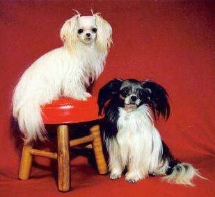 A white long coat Mi-ki is sitting on a wooden stool with a red leather seat and there is a black and white long coat Mi-ki dog on the floor sitting next to it in front of a red backdrop.