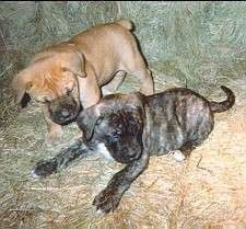 Two puppies laying on a couch - A tan Nebolish Mastiff puppy is standing next to a laying grey brindle Nebolish Mastiff.