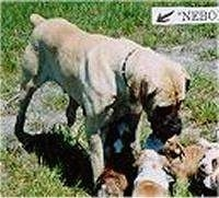 A tan with white Nebolish Mastiff is standing in grass overtop of a litter of Boxer puppies.