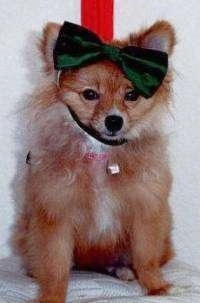 Front view - A red Pomeranian is wearing a green ribbon on its head and it is looking forward.
