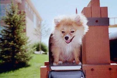 Pomeranian dog sitting inside of a mailbox