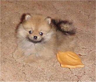 A tiny fluffy tan with black and white Pomeranian is laying down on a carpet and to the right of it is a chew rawhide chip toy.