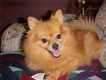 A tan Pomeranian is laying across a bed and it is looking forward. Its head is tilted to the left. Its mouth is open and it looks like it is smiling.