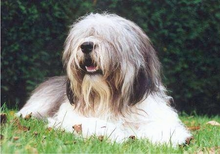 Front view - A long-haired shaggy, grey and white with black Polish Lowland Sheepdog is laying in grass and looking up and to the left. Its mouth is open and it looks like it is smiling.