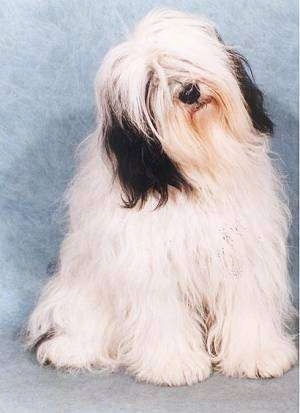 Front view - A longhaired shaggy looking white with black Polish Lowland Sheepdog is sitting against a backdrop and it is looking forward. Its head is tilted to the left.