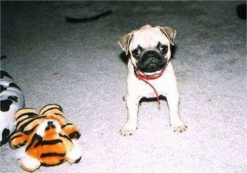 A tiny tan with black Pug is standing on a carpet and it is looking forward. To the left of it is a plush tiger doll.